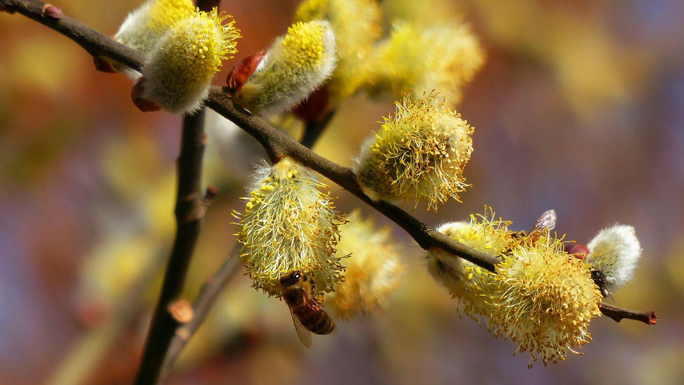 Фото бесплатно пчела, крылья, лапки, ветки, ива, цветет, насекомые, насекомые - скачать