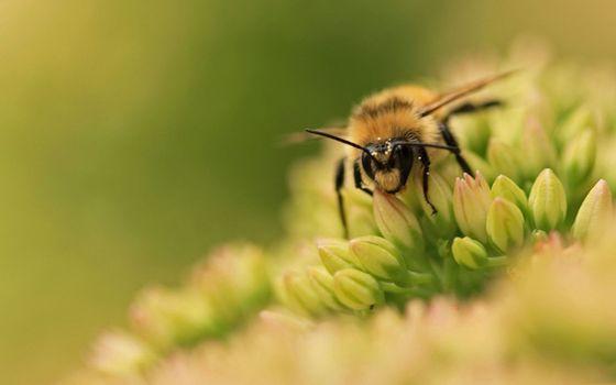 Фото бесплатно пчела, нектар, цветок