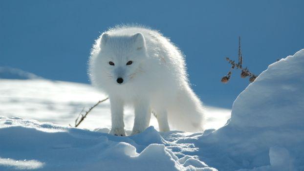 Фото бесплатно песец, зима, мороз, шерсть, снег, зверек, сугробы, животные