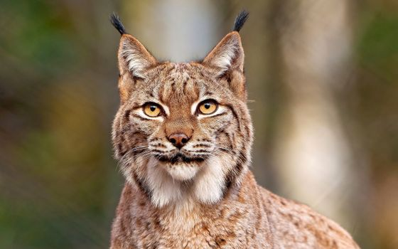Фото бесплатно рысь, зверь, кот