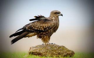Бесплатные фото сокол,птица,гордая,зоркая,глаза,взгляд,перья