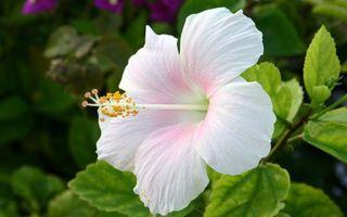 Бесплатные фото цветок,лепестки,бело-розовые,пестики,тычинки,листья,зеленые
