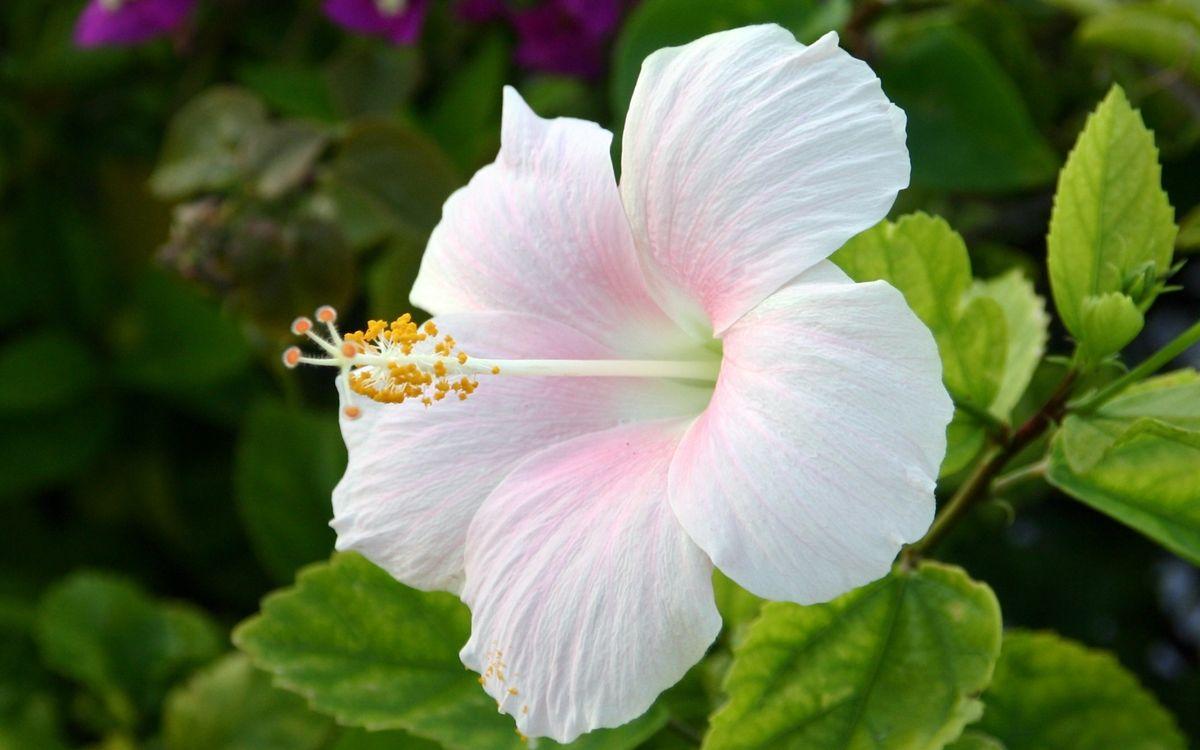 Фото бесплатно цветок, лепестки, бело-розовые, пестики, тычинки, листья, зеленые, цветы, цветы - скачать на рабочий стол