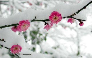 Обои весна, лепестки, цветки, снег, ветки, зима, дерево, яблоня, вишня, цветы