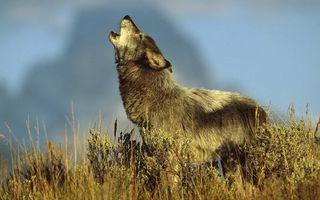 Заставки волк,воет,трава,рожь,поле,дикий,зверь