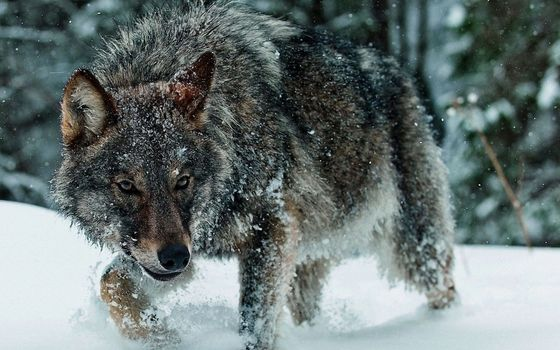 Photo free wolf, in the forest snow, drifts
