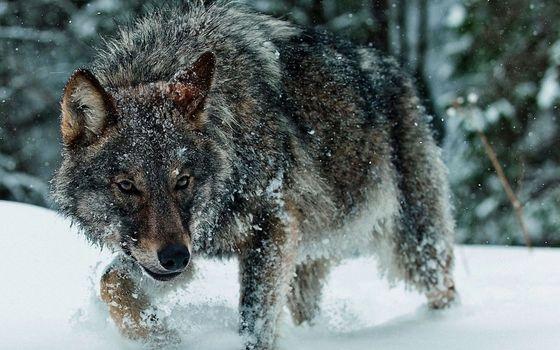 Фото бесплатно волк, в лесу. снег, сугробы