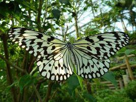 Обои бабочка, белая, черные пятна, листва, природа, насекомые