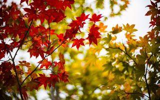 Бесплатные фото деревья,клен,ветви,листья,разного,цвета,природа