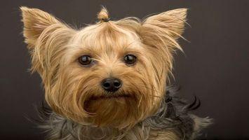 Фото бесплатно йоркширский, терьер, собака
