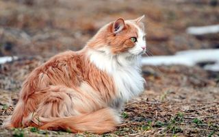 Photo free cat, red, fluffy