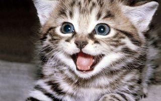 Фото бесплатно оскал, язык, котенок