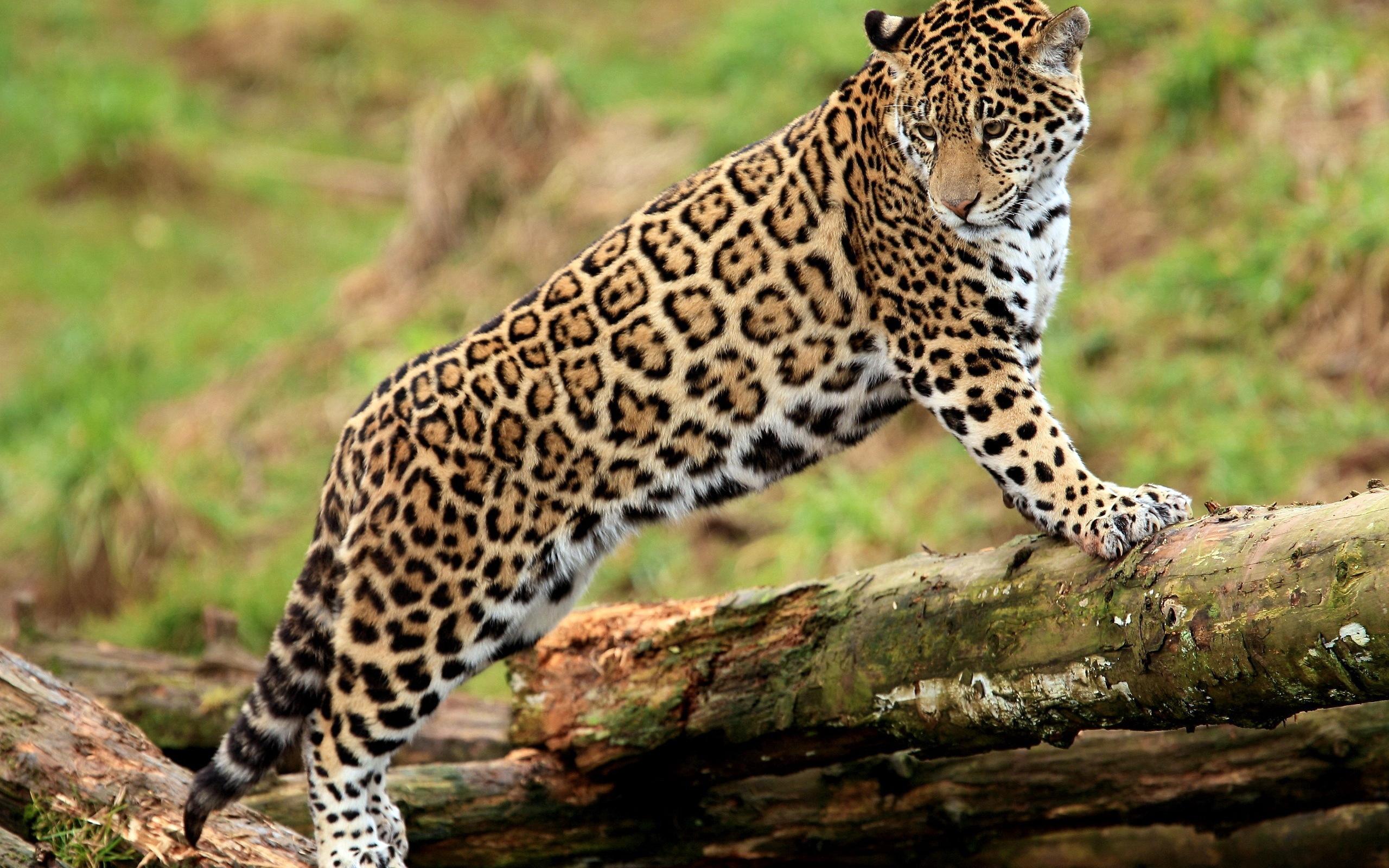 леопард, хищник, грация