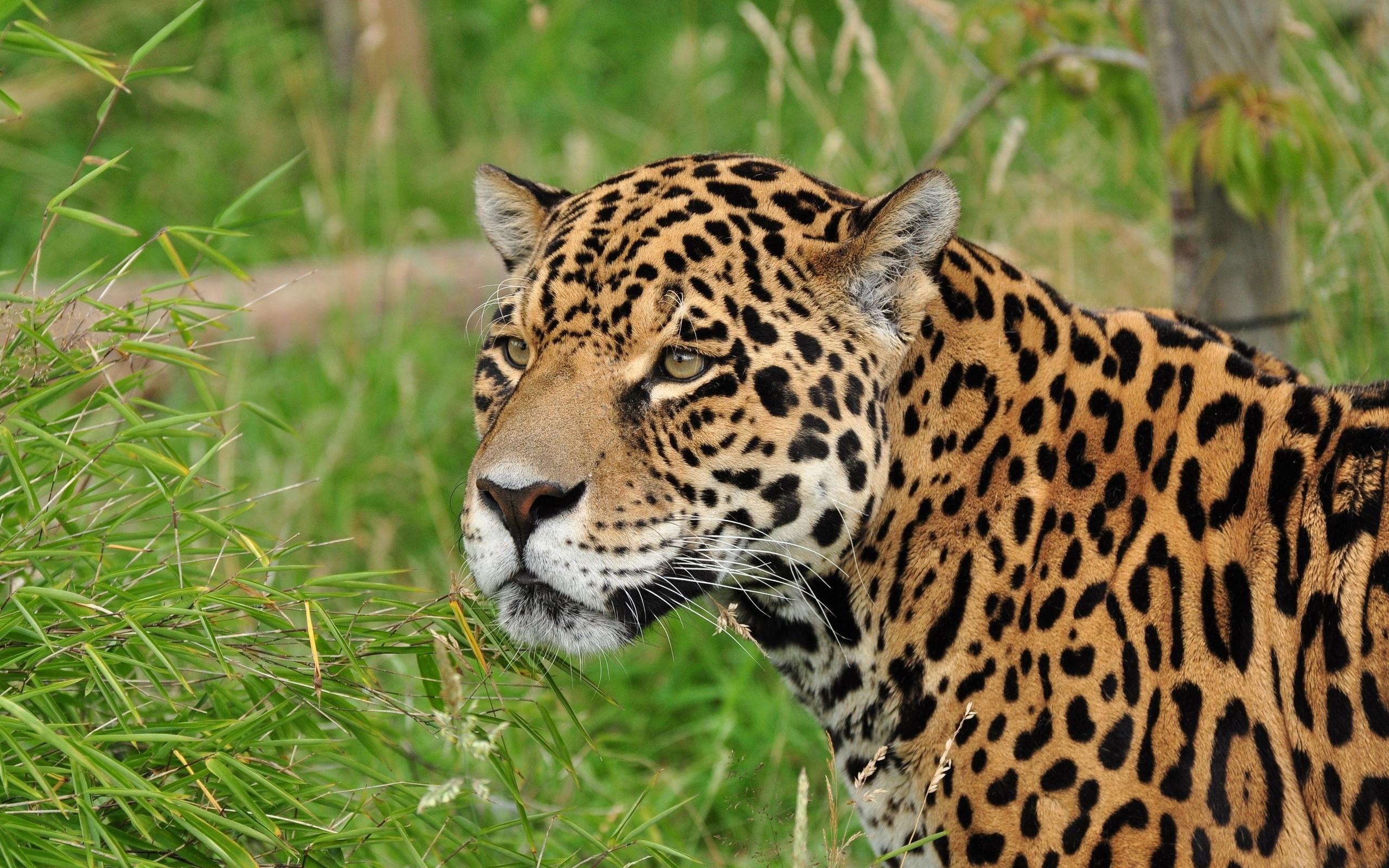 леопард, морда, глаза