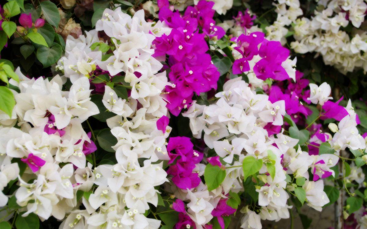 Фото бесплатно лепестки, белые, розовые, листья, зеленые, цветы, цветы