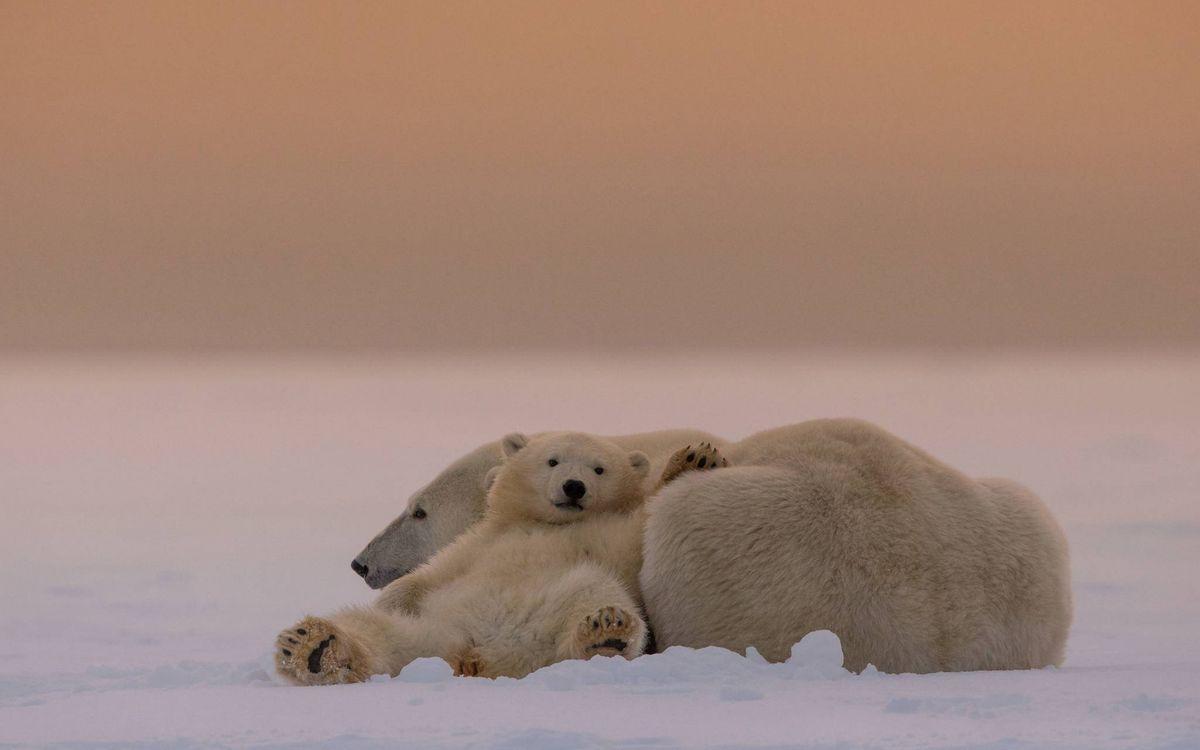Фото бесплатно медвежонок, медведица, белые, полярные, шкура, снег, животные, животные