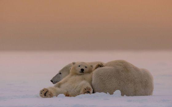 Бесплатные фото медвежонок,медведица,белые,полярные,шкура,снег,животные