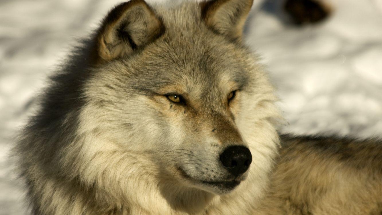 Фото бесплатно пес, морда, глаза, уши, шерсть, снег, собаки, собаки
