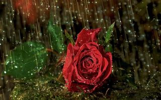 Photo free rose, petals, drops