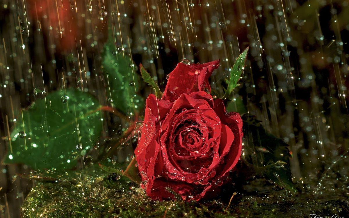 Фото бесплатно роза, лепестки, капли - на рабочий стол