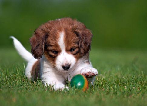 Бесплатные фото собачонок,играет,с мячом,собаки