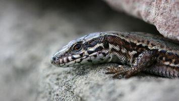 Бесплатные фото ящерица,морда,глаза,лапы,чешуя,камень,животные