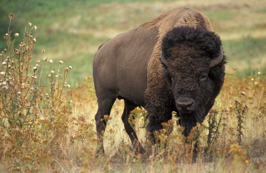 Photo free bison, healthy, wool