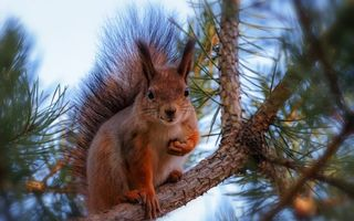 Бесплатные фото белка,елка,ветка,пушистый,хвост,глаза,уши