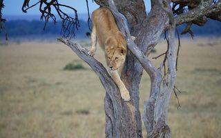 Фото бесплатно дерево, сухое, львица