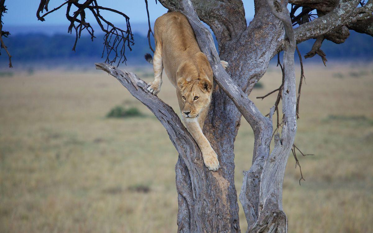 Фото бесплатно дерево, сухое, львица, морда, лапы, высматривает добычу, кошки, кошки