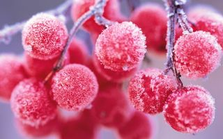 Фото бесплатно калина, ягоды, плоды, мороз, иней, снег, ветка, дерево, еда