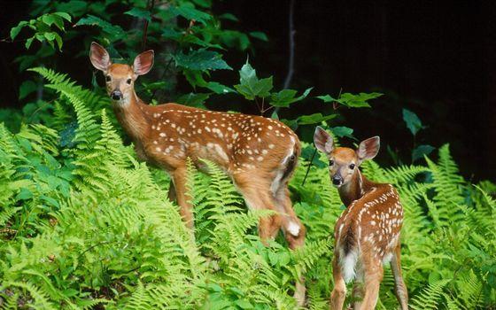 Фото бесплатно касуля, олень, пятнышки, кожа, шерсть, дикие, уши, глаза, детеныш, животные
