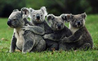 Заставки коала, семейство, трава