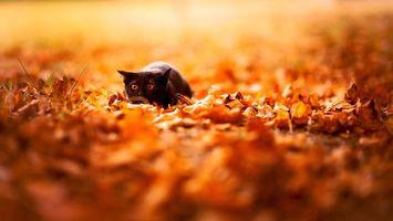 Бесплатные фото кот,черный,затаился,готовность,прыжок,листва,кошки