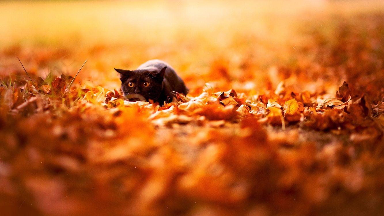 Фото бесплатно кот, черный, затаился, готовность, прыжок, листва, кошки, кошки