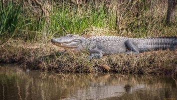 Фото бесплатно крокодил, вода, трава