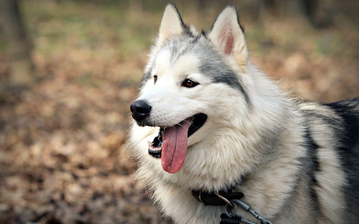 Фото бесплатно хаски, лайка, пес, пушистый, мохнатый, уши, глаза, ошейник, язык, нос, лес, собаки, собаки