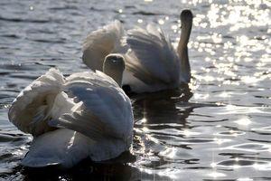 Бесплатные фото лебеди, пара, блики, птицы