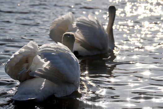 Фото бесплатно лебеди, пара, блики, птицы