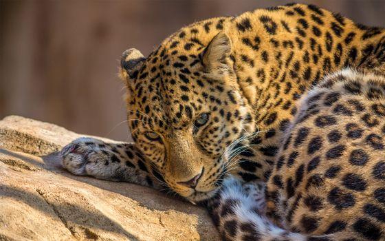 Заставки лежащий леопард,камень,спокойствие,взгляд,животные