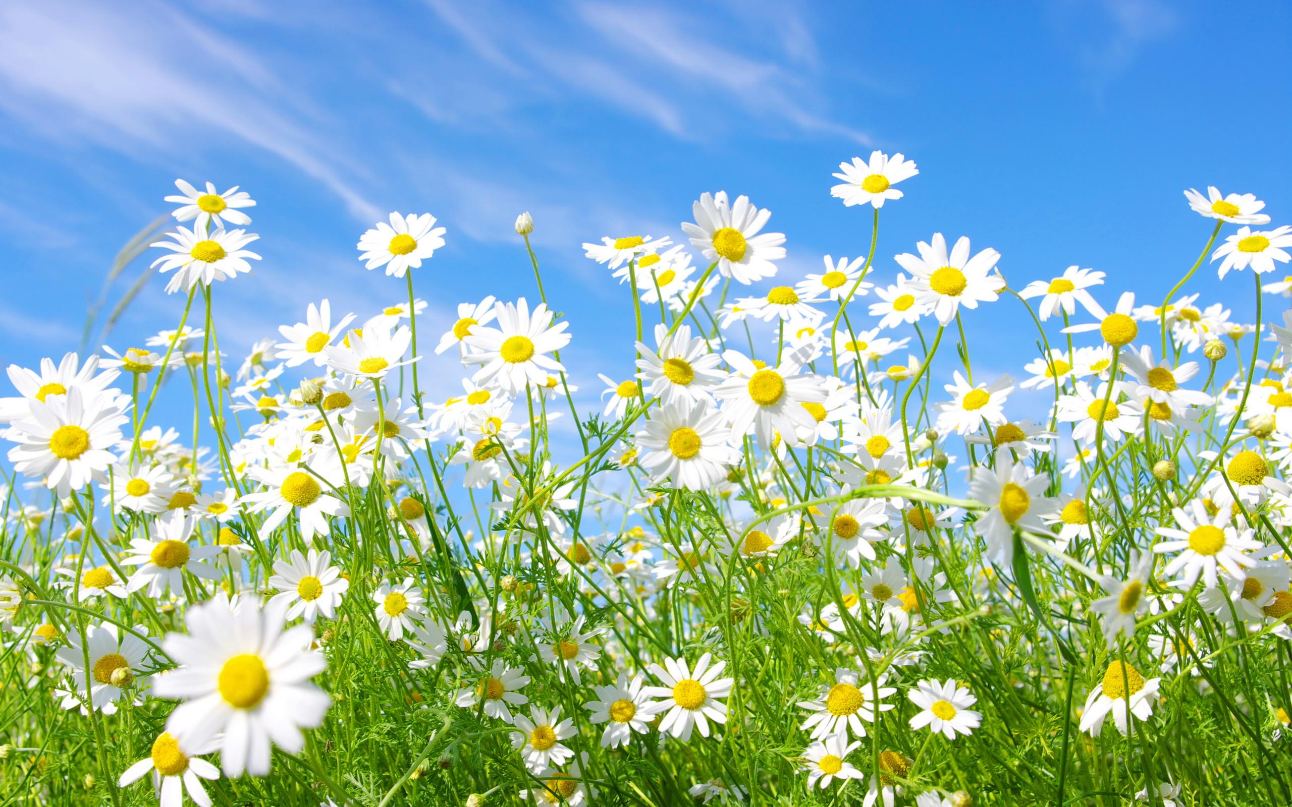 полевые цветы небо облака загрузить