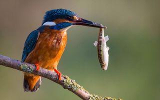 Бесплатные фото птица,ветка,клюв,рыбка,малек,еда,птицы
