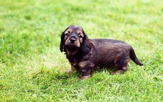 Бесплатные фото щенок,пес,уши,усы,глаза,нос,рот