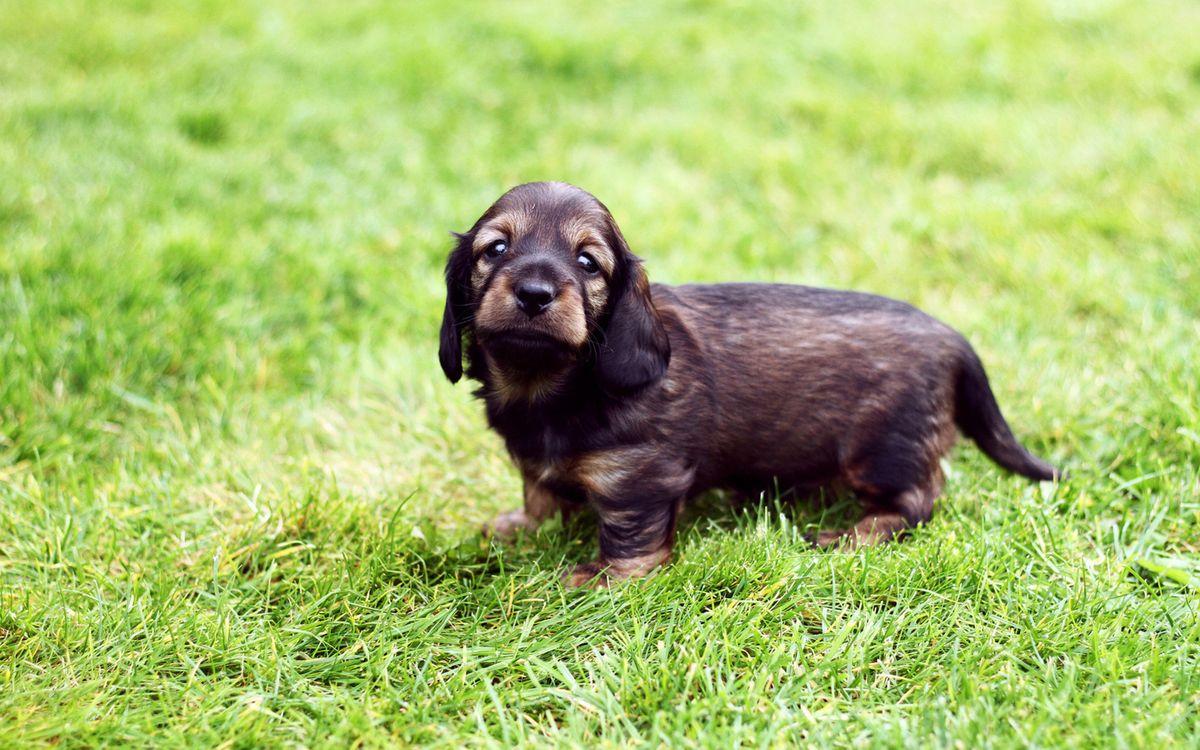 Фото бесплатно щенок, пес, уши - на рабочий стол