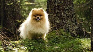 Бесплатные фото шпиц,пушистый,морда,шерсть,деревья,трава