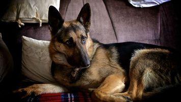 Фото бесплатно собака, овчарка, уши