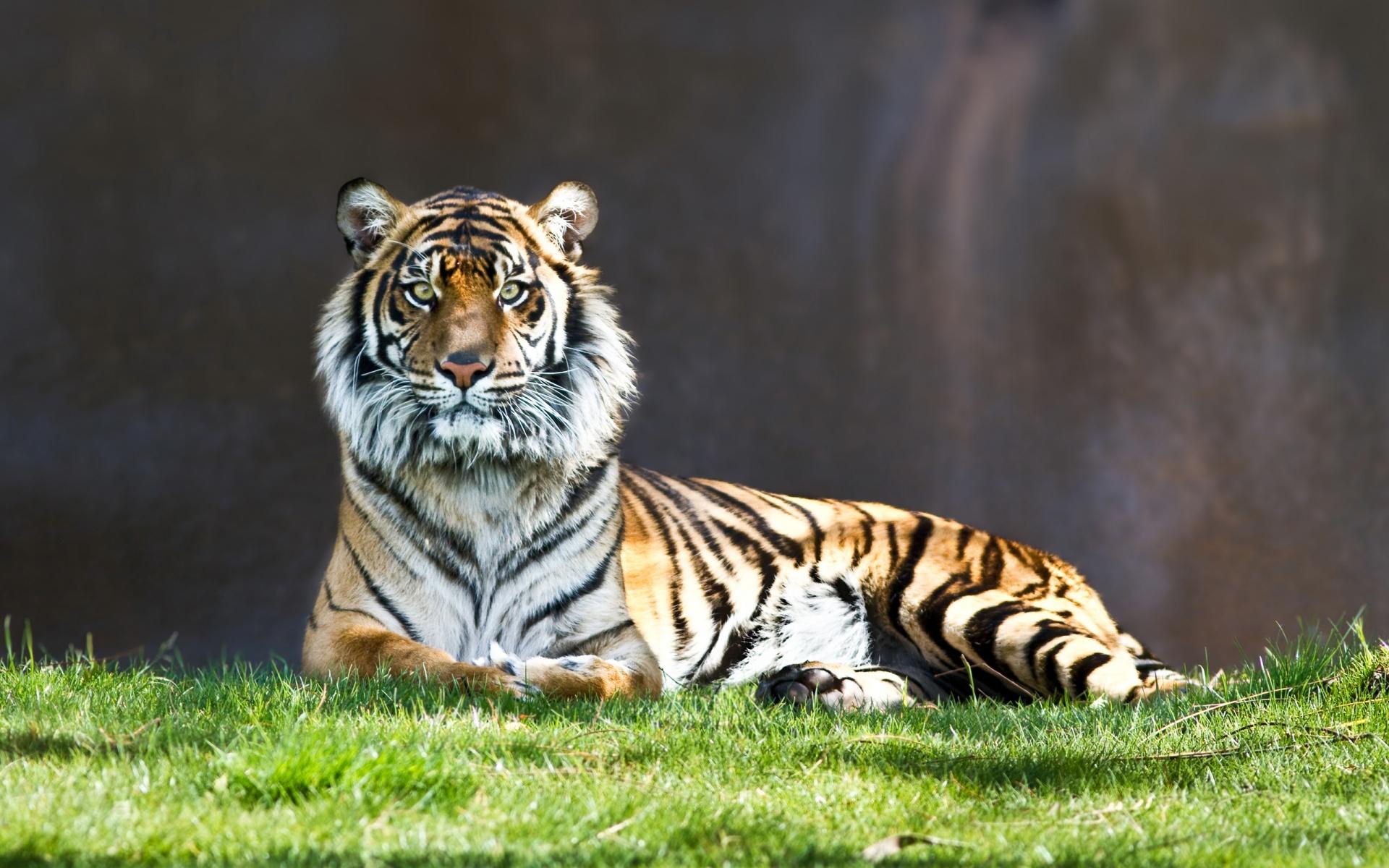 тигр, шерсть, глаза