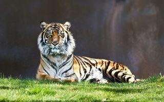 Заставки тигр, шерсть, глаза, взгляд, лапы, хищник, животные