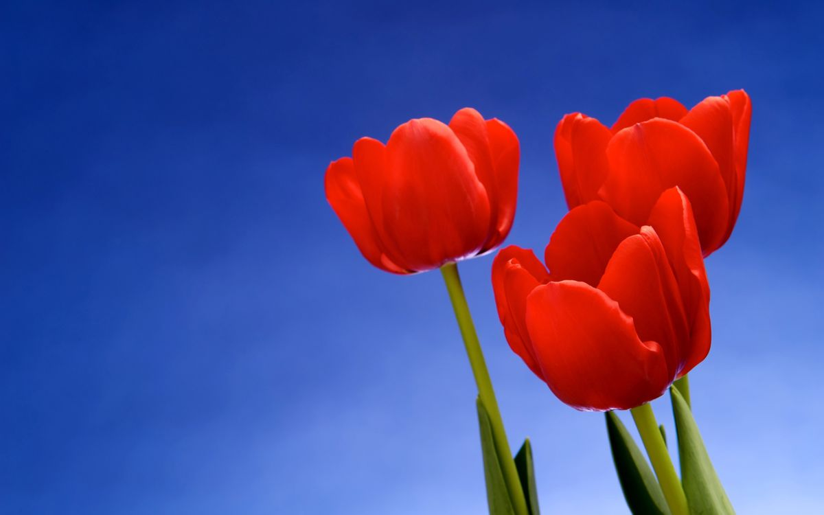 Фото бесплатно тюльпаны, листья, цветы - на рабочий стол