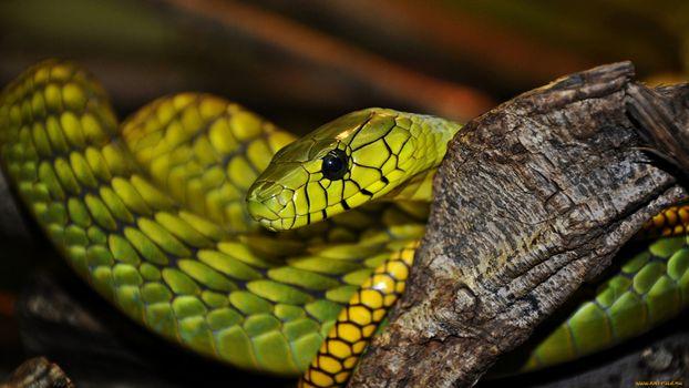 Фото бесплатно змея, зеленая, желтая